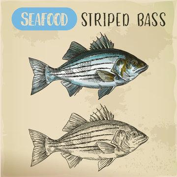 Sketch of striper fish or atlantic striped bass