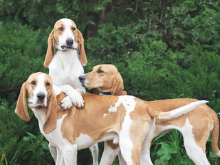 Funny Three hunting dogs a beagle  in the park. green bushes on a background