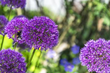 Allium, Zierlauch mit Hummel, Landschaft im Frühling