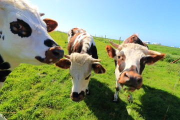 Fond de hotte en verre imprimé Vache vache