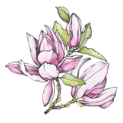 Branch of pink magnolia liliiflora (also called mulan magnolia) with flowers and leaves. Black and white outline illustration with watercolor hand drawn painting, isolated on white background.