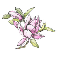 Branch of purple magnolia liliiflora (also called mulan magnolia) with flowers and leaves. Outline illustration with watercolor hand drawn painting, isolated on white background.