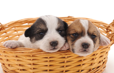 Two cute puppies in the basket.