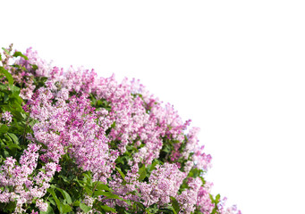 Blooming lilac. Lush clusters of purple lilac bushes isolated.