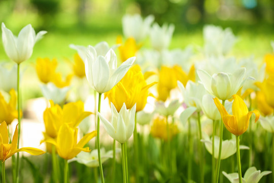 Blossoming tulips outdoors on sunny spring day