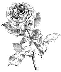drawing a rose, sketch from nature, vector illustration