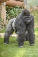 Gorille dans son enclos au zoo