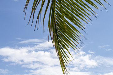 Green palm leaf of coco palm tree on blue sky background. Tropical nature photo.