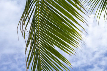 Fluffy leaf of coco palm tree on blue sky background. Tropical nature photo. Tropical sky view.