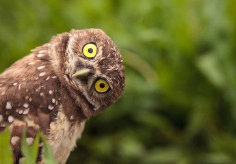 Fotobehang Uil Funny Burrowing owl Athene cunicularia tilts its head outside its burrow
