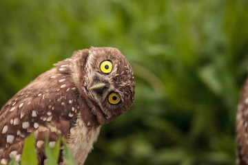 Poster Uil Funny Burrowing owl Athene cunicularia tilts its head outside its burrow