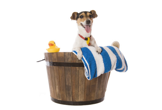 A fox Terrier waiting for bath time with towel and rubber duck.