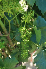 Young Grapes Hanging on a Vine