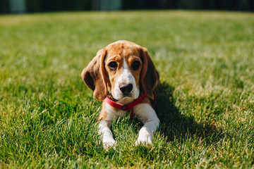Close up portrait of cute little beagle dog lying on the green grass lawn on the backyard on sunny day. Beagle puppy in the park