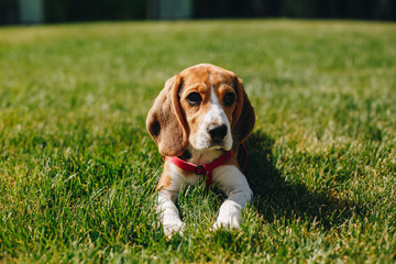 Cute little beagle dog lying isolated on green grass, Beagle puppy on the green lawn in the backyard