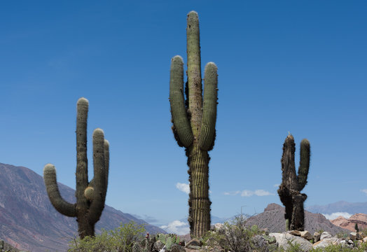Giant cactus in the plateaux