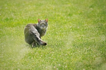 Tabby cat walking on green grass with white clover flowers looking back, while hunting, sunny day