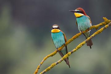Two beautiful European bee-eaters (Merops apiaster)