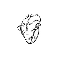 A heart hand drawn outline doodle icon. Anatomic doodle of human's heart as life and health concept vector sketch illustration for print, web, mobile and infographics isolated on white background.