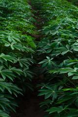 Row of Cassava farm
