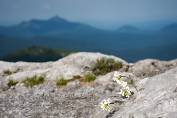 White flowers growing out of the rock, with mountains in a blurred distance. Taken along Via Dinarica, in strict nature reserve Bijele stijene, in Gorski kotar, Croatia.