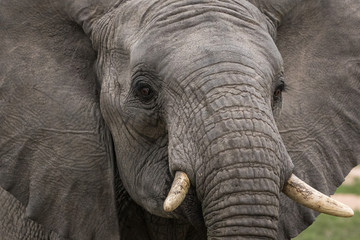 Portrait of a beautiful young male elephant.