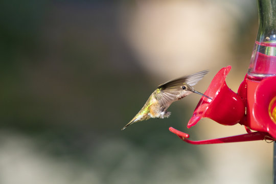 Beautiful Hummingbird at a Feeder