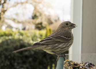 A Common Female Finch Feeds on a Window Feeder