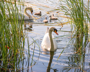 Familiy of swans with nestlings