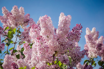 Closeup of blossomed lilac flower bushes against blue sky. Spring