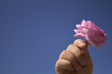 rose in the hands of a child on an isolated close-up background