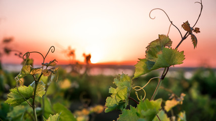 Photo sur Toile Vignoble vineyards and a vine at sunset