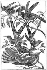 Hummingbirds (from Das Heller-Magazin, May 24, 1834)