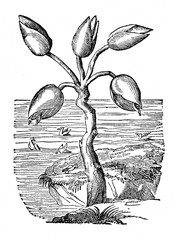 The Goose or Barnakle tree, that bears geese, from Gerard's Herbal (1597) (from Das Heller-Magazin, May 17, 1834)