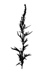 Wild herb silhouette isolated on white.