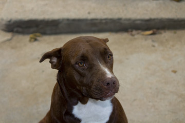 Cachorro - Pit Bull - Dog