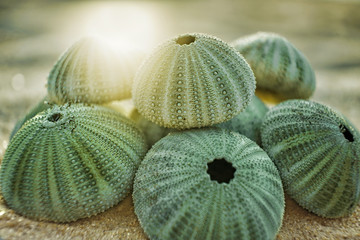 skeleton of a see urchins in shades of green color on a beach sand  Wall mural