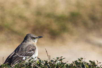Northern Mockingbird Sitting on Top of a Hedge