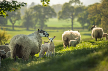 Little cute new born lambs with their mpthers sheep passing forest lit by warm sunset light. Selective focus.