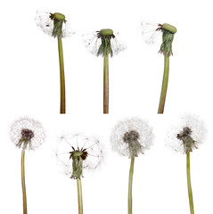 seven isolated white old dandelions