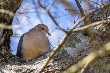Mourning Dove with a Heart Shape Eye