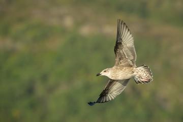 Juvenile Herring Gull in Flight