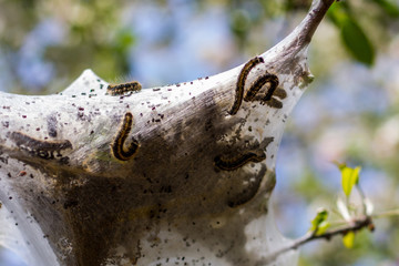 Eastern Tent Caterpillars on a web in a tree in early spring