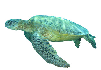 Turtle isolated. Green Sea Turtle on white background