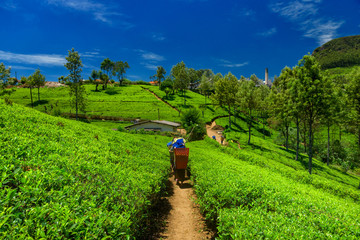 Tea plantations and factory in Sri Lanka.