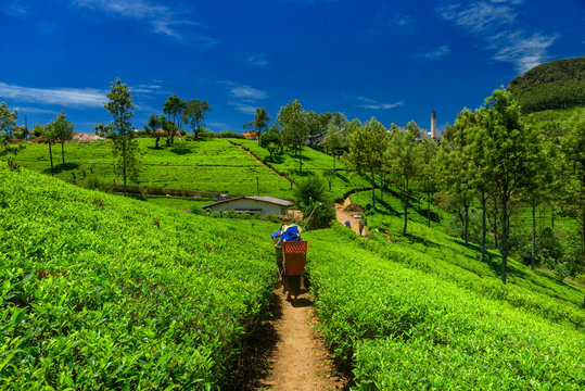 Tea plantations and factory in Sri Lanka.