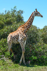 Giraffe in wild. in full height