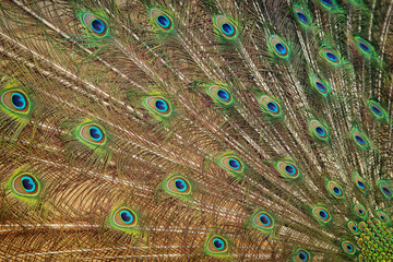 image of beautiful male peacock opening tail background.
