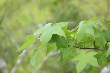 Branch with a Collection of Green Maple Leaves in Spring