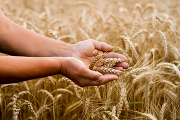 Wheat spikes in the hands of women